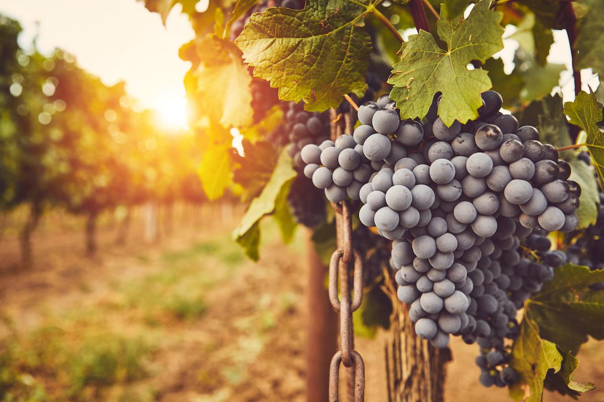 Mis on viinamarjakasvatus (viinamarjakasvatus)? Lugege viinamarjakasvatuse ajaloo kohta