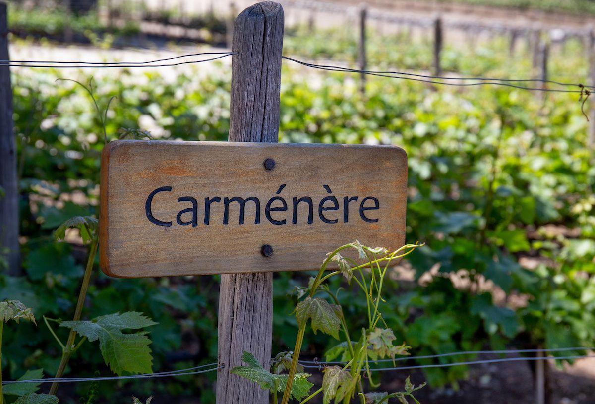 En savoir plus sur le vin Carménère: raisins, vins, régions et accords