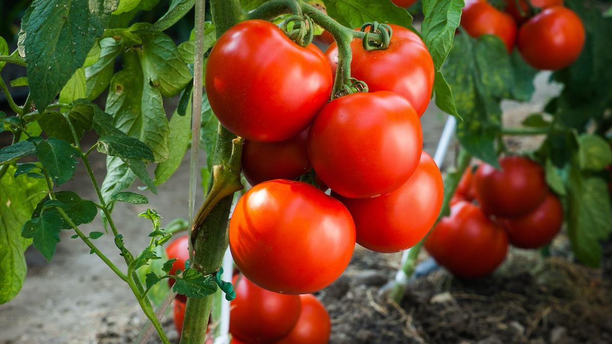 Ako si vybrať najlepšie hnojivo pre vaše rastliny paradajok
