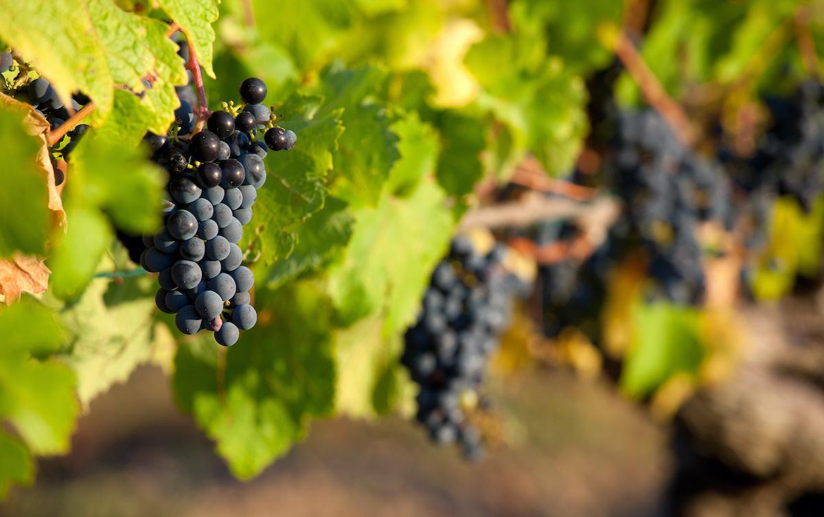 Guida all'uva da vino francese: 20 uve da vino che crescono in Francia