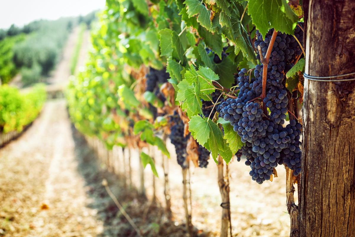 Guia de uvas para vinho italiano: 21 uvas para vinho que crescem na Itália