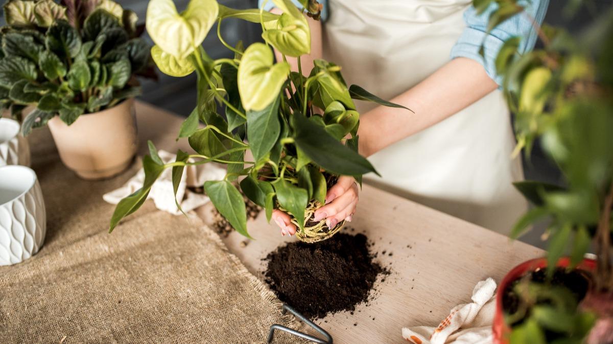 Hvordan ta vare på potteplanter: 5 innendørs plantepleietips