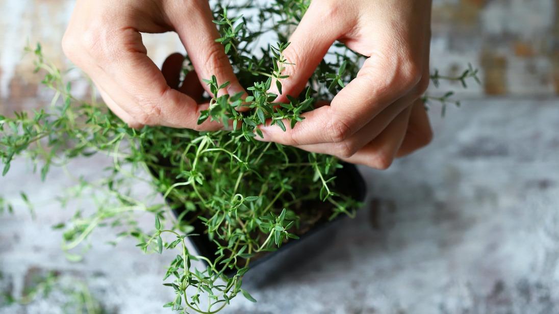 Comment faire pousser du thym : Guide de plantation du thym compagnon