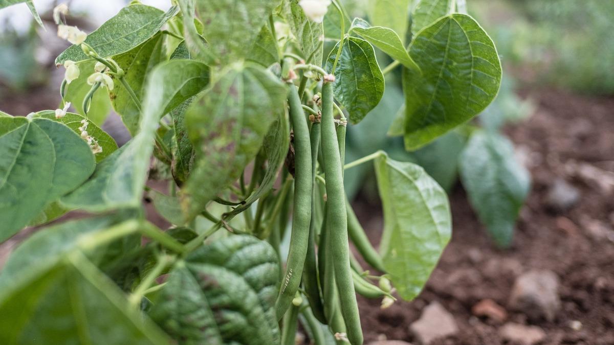 Como cultivar feijão verde: dicas para cultivar feijão verde