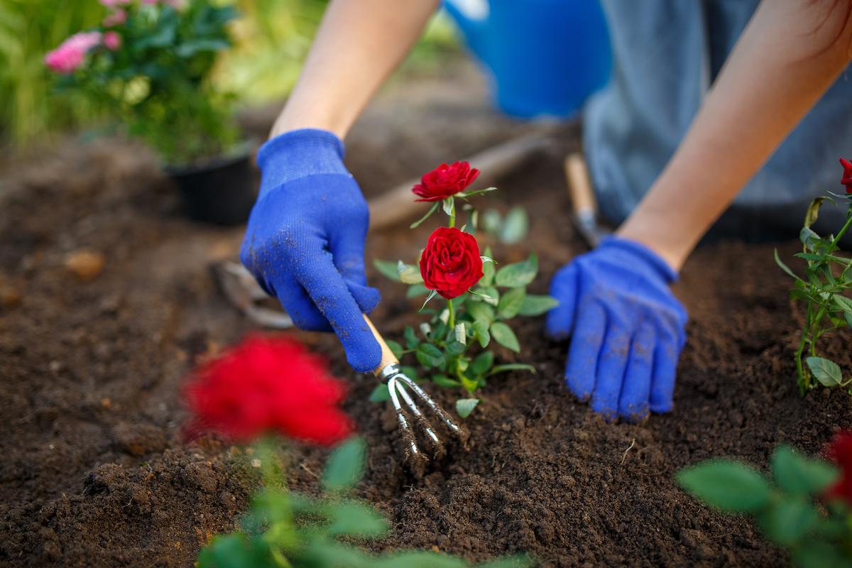 Kako uzgajati i brinuti se za ruže u vašem kućnom vrtu