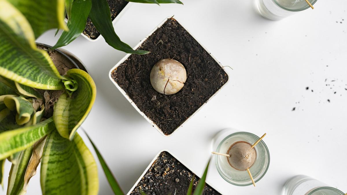 Hogyan termeszthetünk avokádófát egy gödörből 6 lépésben