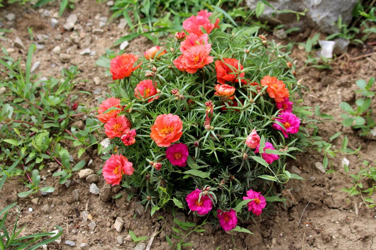 Guide d'entretien des roses de mousse: Comment faire pousser des roses de mousse