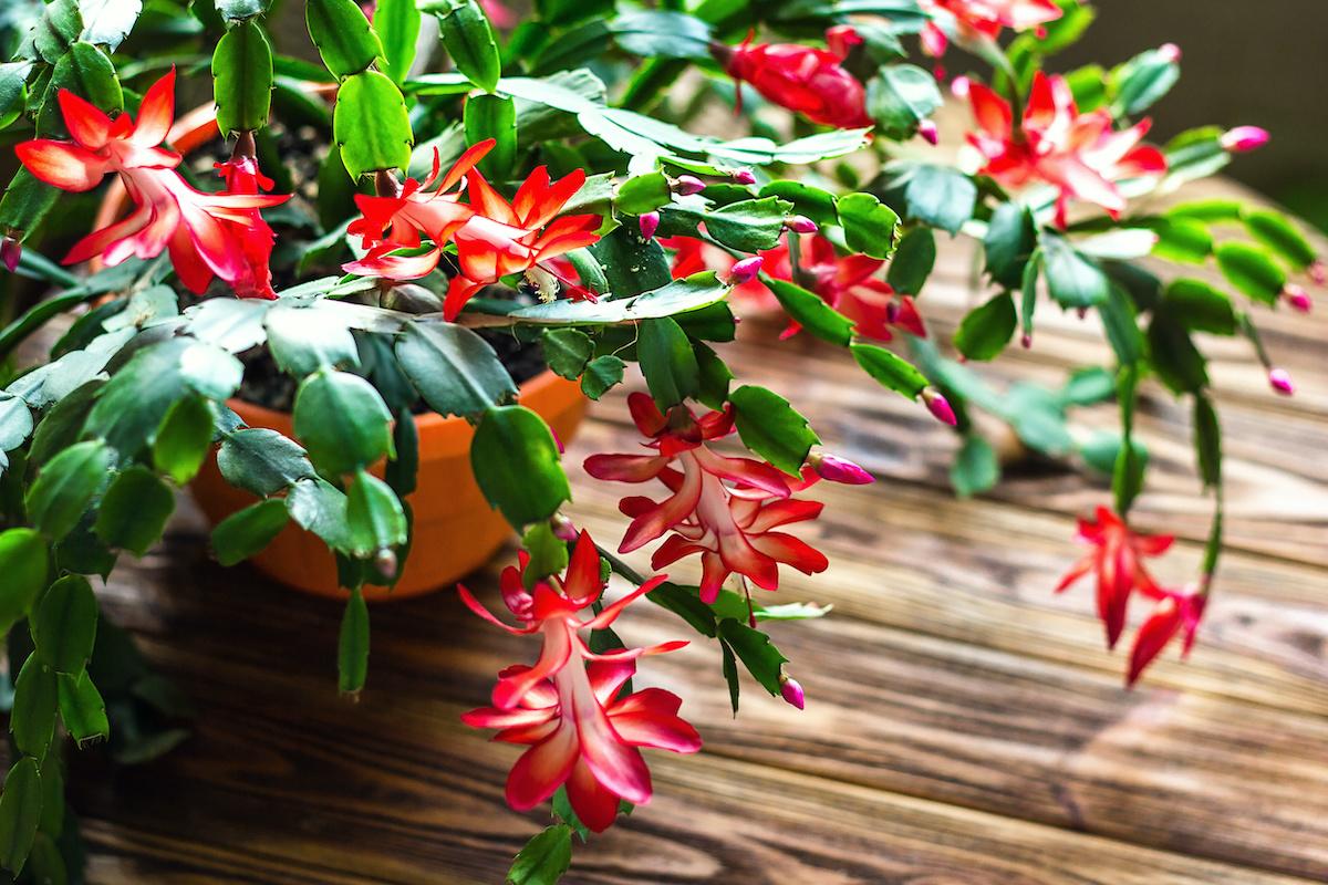 Guide des cactus de Noël : Comment propager des cactus de Noël