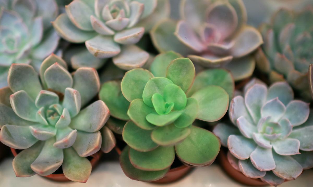 Echeveria hoolduse juhend: kuidas kasvatada Echeveria taimi
