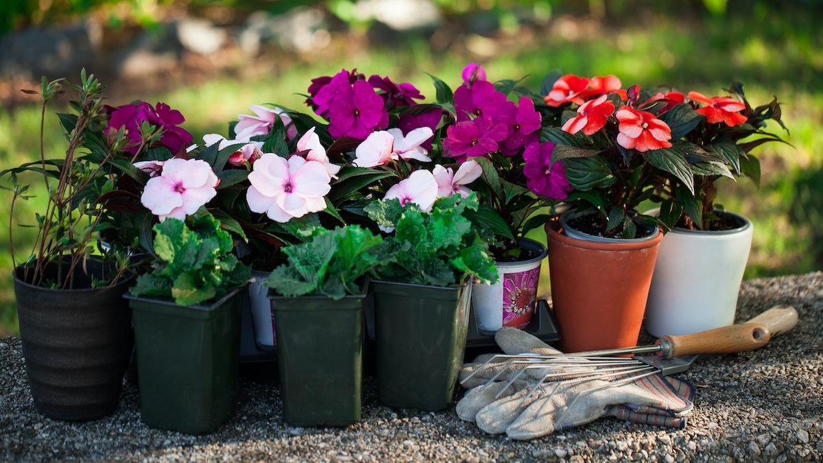 Comment faire pousser des impatiens dans votre jardin de fleurs