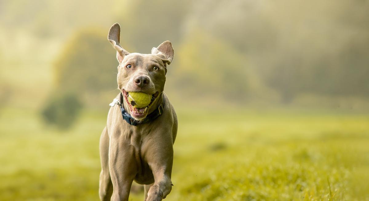 Kako naučiti svog psa dohvaćati u 5 koraka