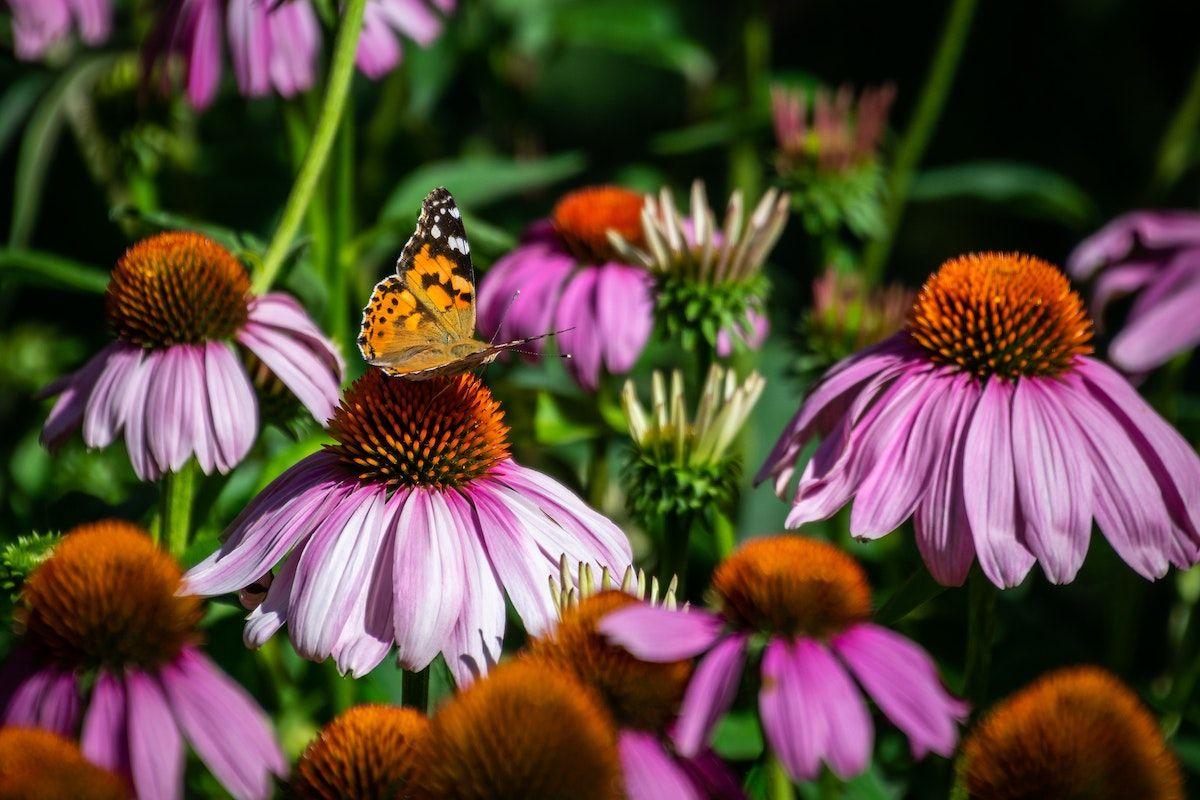 Ako zasadiť záhradu s motýľmi: 7 tipov, ako prilákať motýle
