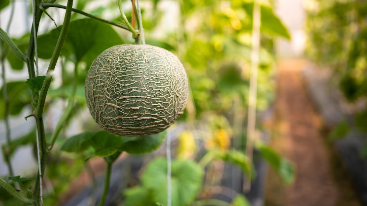Comment faire pousser du cantaloup: 5 conseils d'entretien du cantaloup