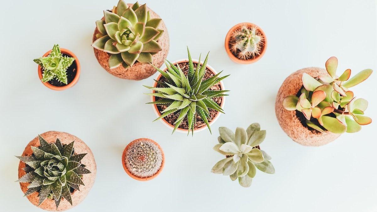 5 façons de garder les plantes succulentes en vie: comment prendre soin des plantes succulentes