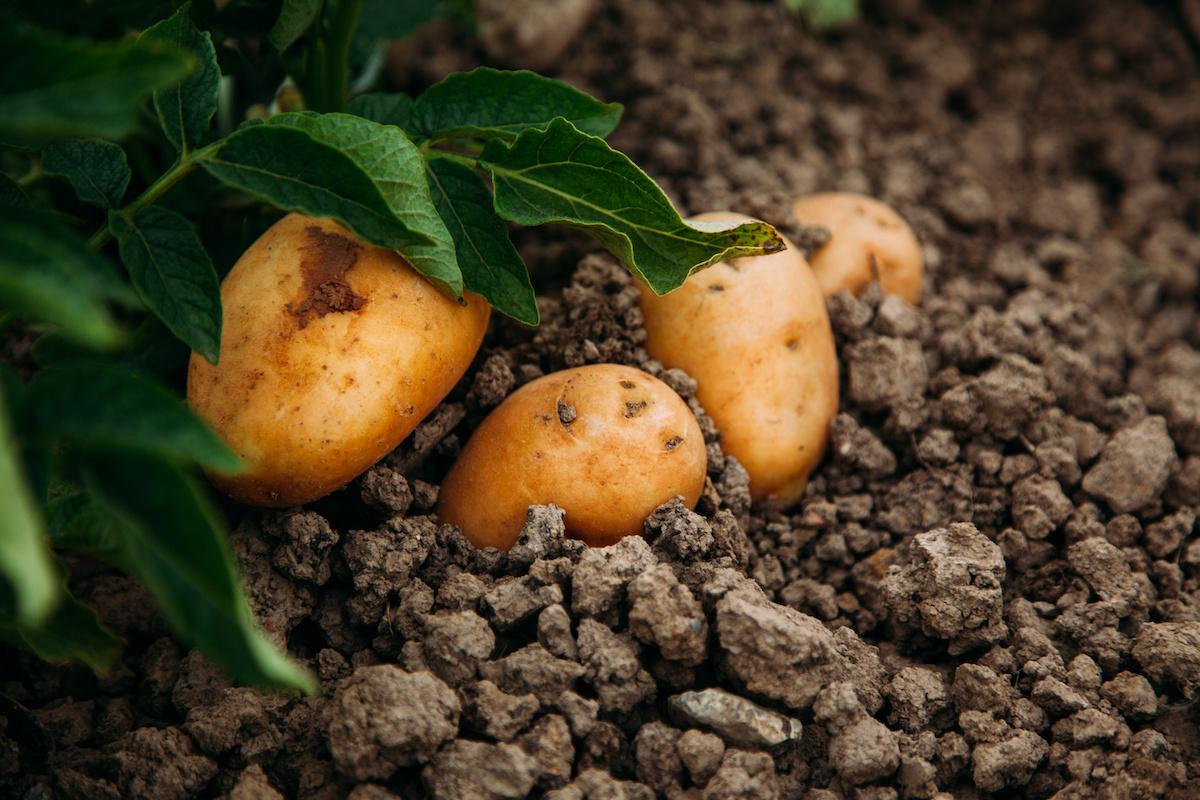 Hogyan lehet burgonyát termeszteni és betakarítani otthon