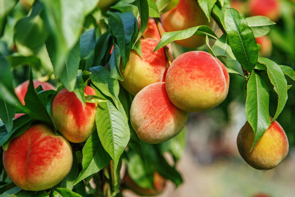 Hvordan dyrke et fersken i hagen din