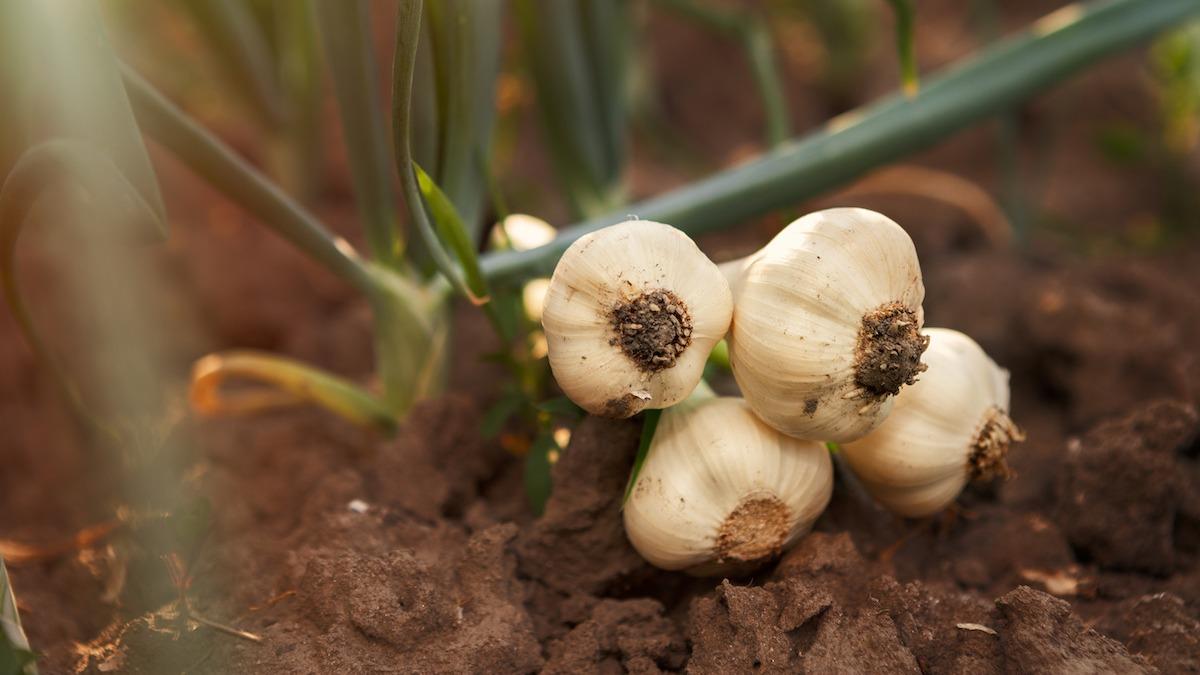 Come coltivare e raccogliere l'aglio