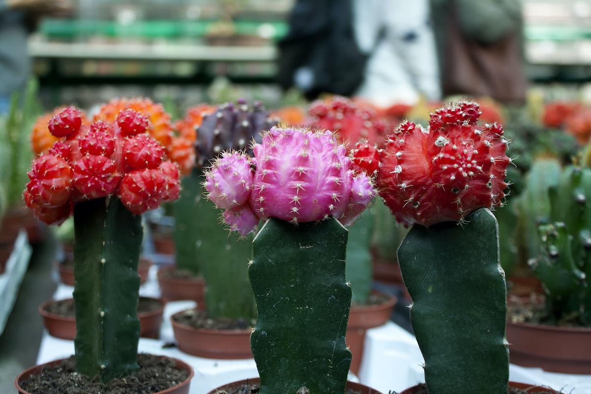 Oltott kaktusz útmutató: 4 tipp az oltott kaktuszok ápolásához
