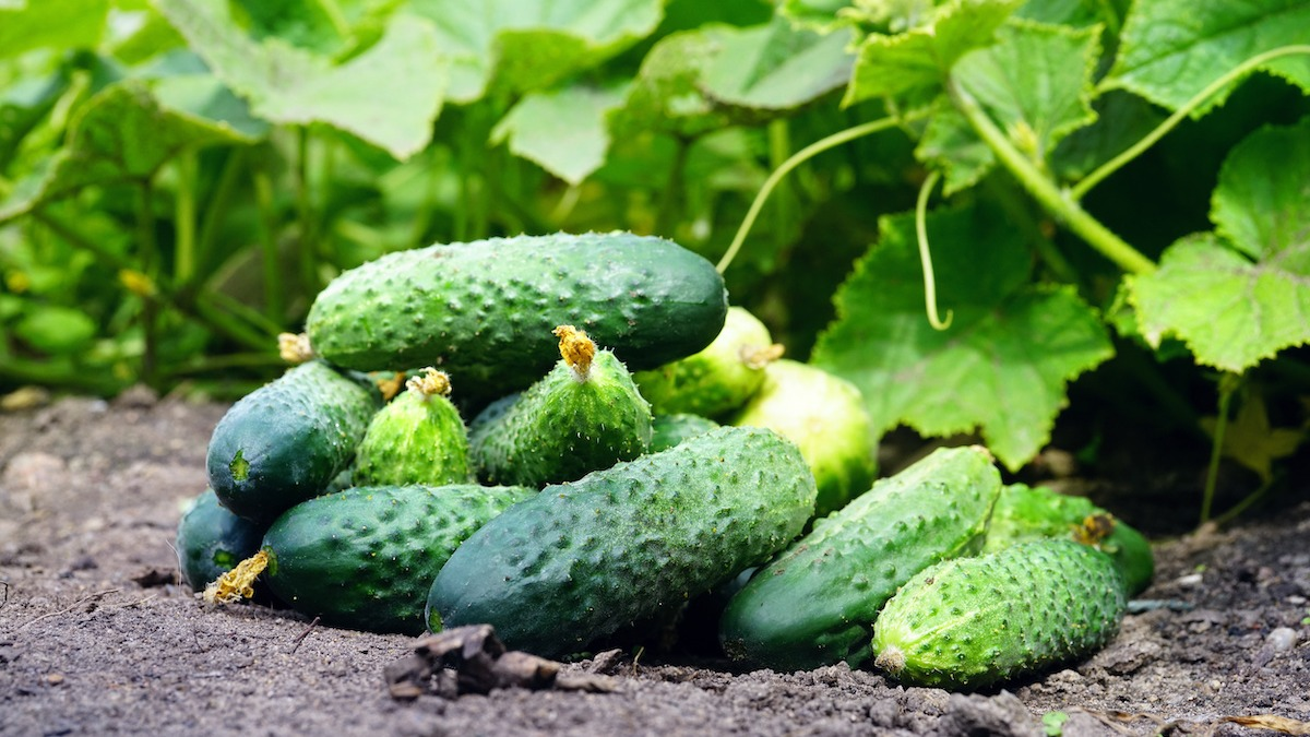 Uborka termesztése és betakarítása a kertben
