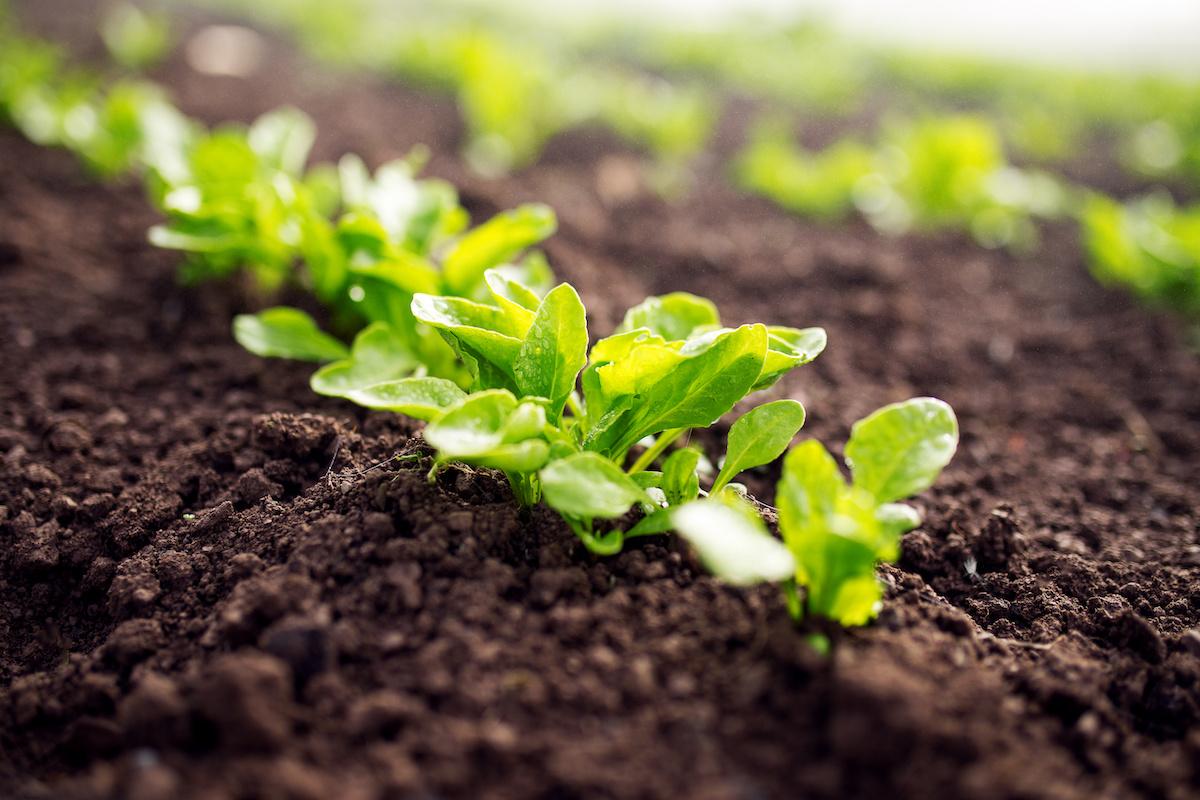Kako uzgajati salatu u svom kućnom vrtu
