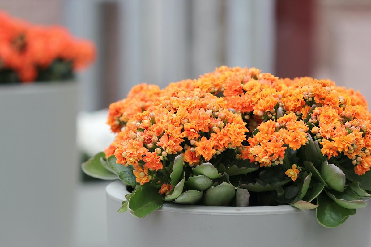 Guide d'entretien Kalanchoe: Comment faire pousser des plantes Kalanchoe