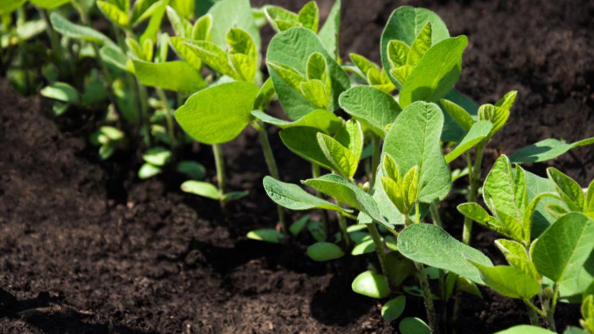 Come coltivare i legumi: 8 consigli per coltivare fagioli e piselli