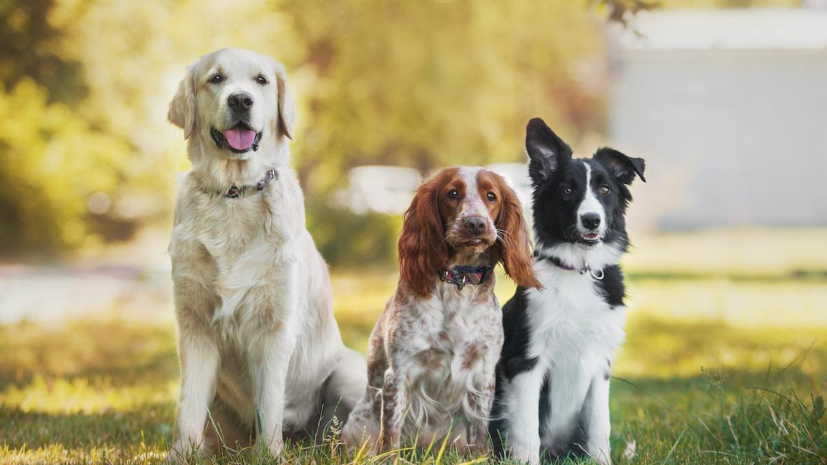 Guide de race de chien : explorez les 7 principaux groupes de chiens