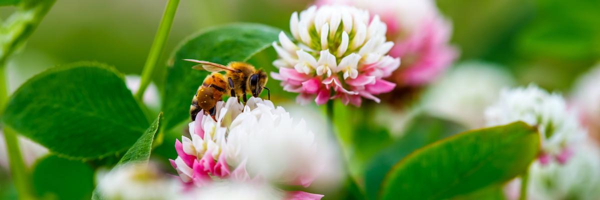 A háztáji méhek azonosítási útmutatója: 5 gyakori méhtípus