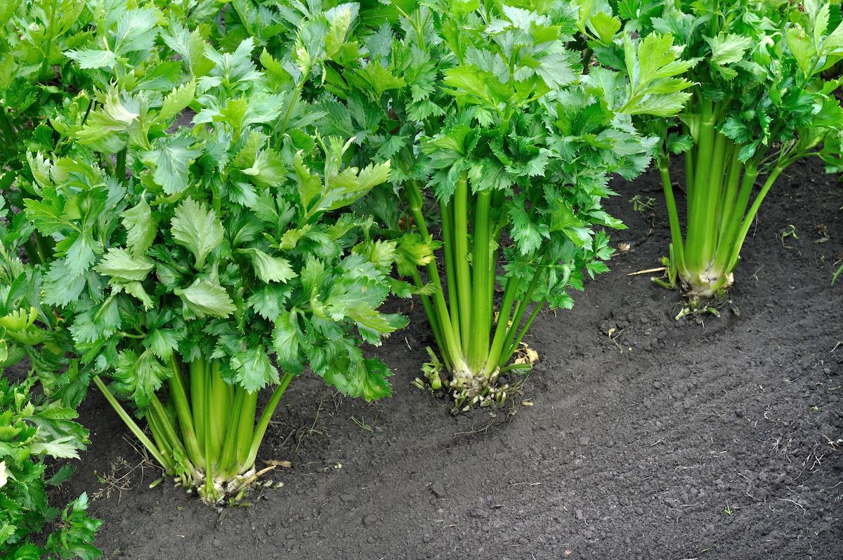 Comment faire pousser et récolter le céleri dans votre jardin