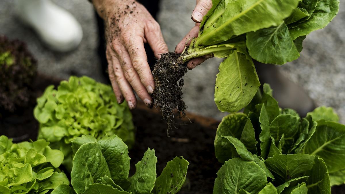 Comment récolter et conserver la laitue de votre jardin