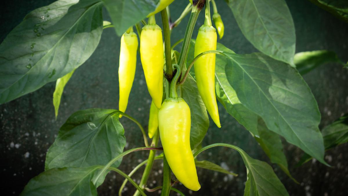 Comment faire pousser des piments bananes dans votre jardin