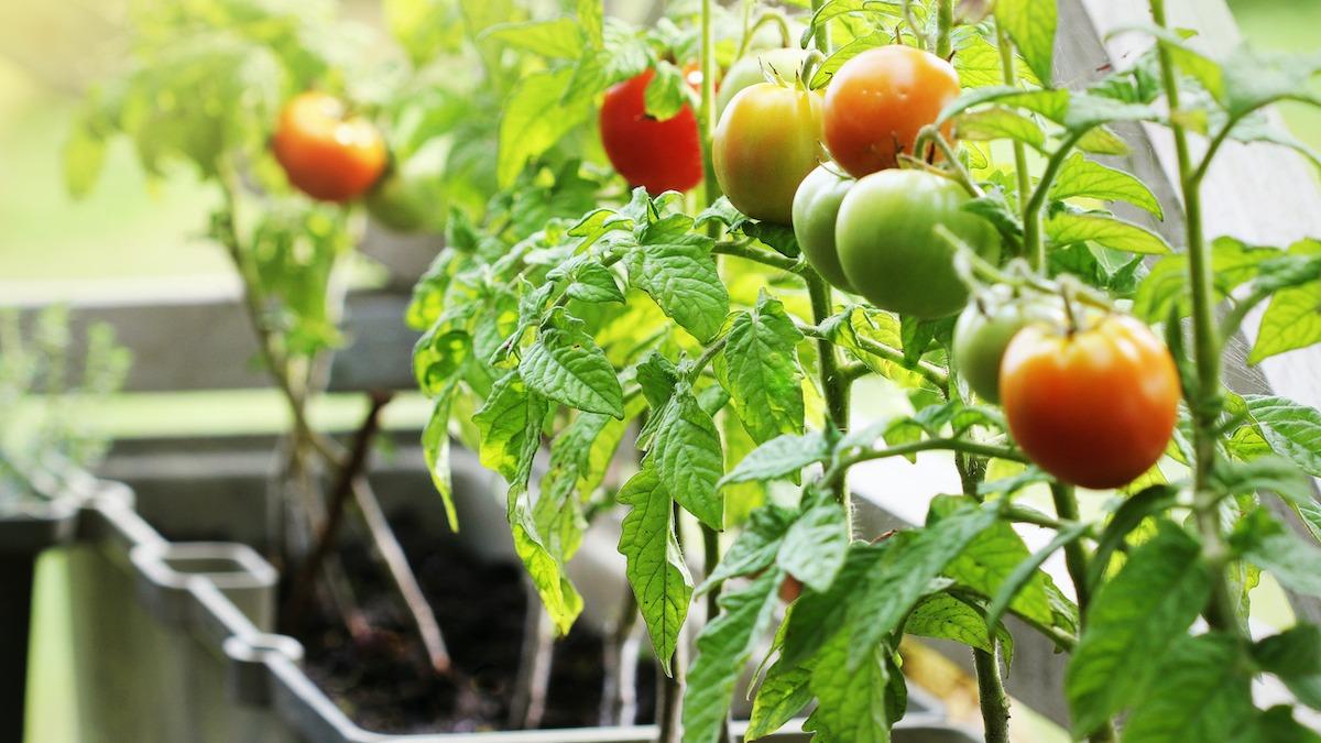 Kako uzgajati rajčicu u loncima i visećim košarama