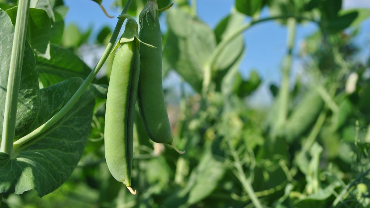Cum să cultivați mazărea de zahăr în grădina dvs. de legume