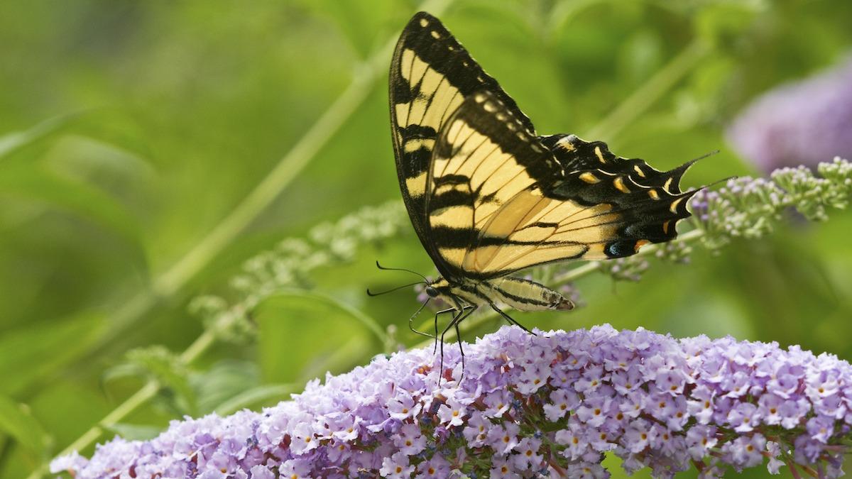 Hogyan vonzhatjuk a pillangókat a kertjébe: 22 pillangó növény
