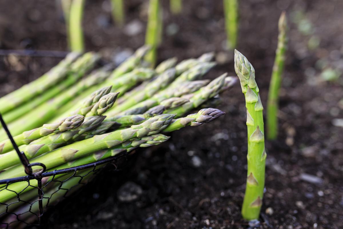 Hvordan plante og dyrke asparges