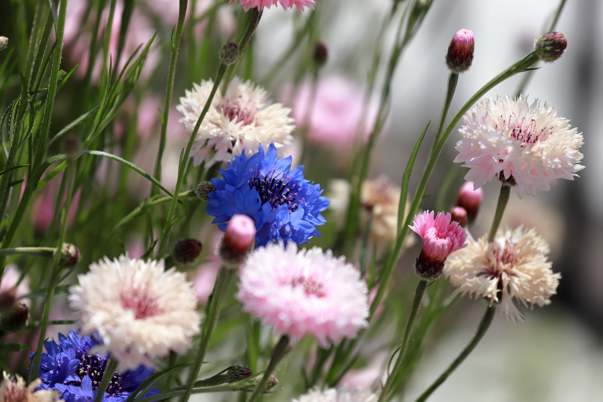 Bachelor's Button Guide: How to Grow Bachelor Button Flowers