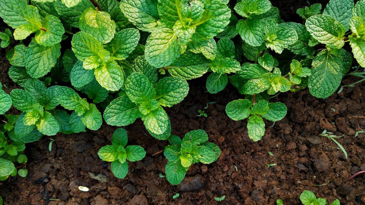 Mint Companion Planting: สิ่งที่จะปลูกด้วย Mint
