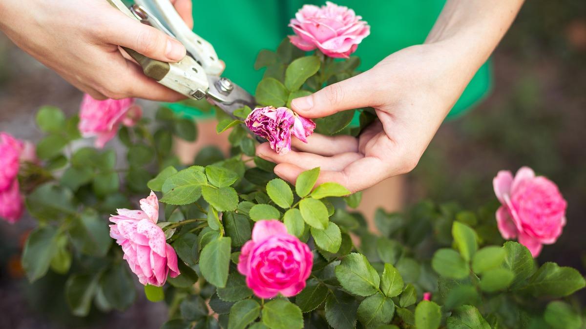 Comment faire des fleurs mortes dans votre jardin