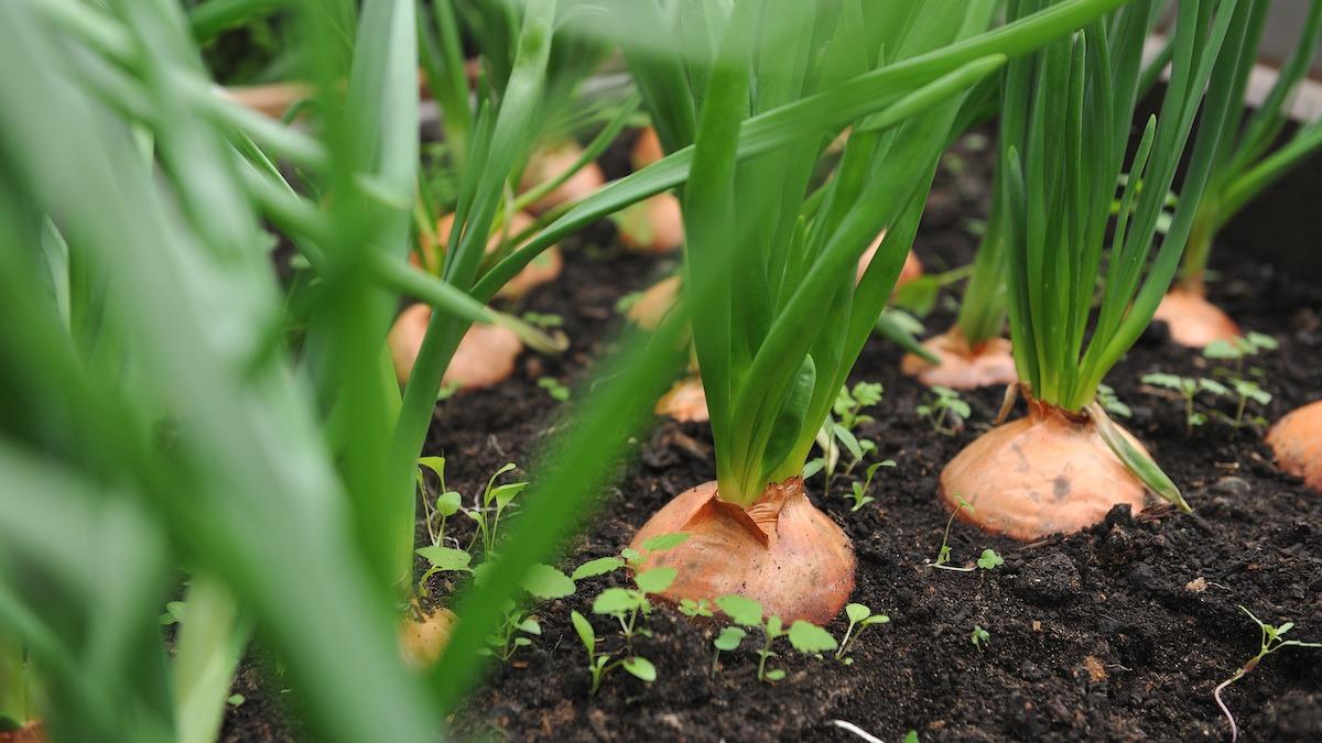 Come coltivare le cipolle: guida alla semina del compagno di cipolle