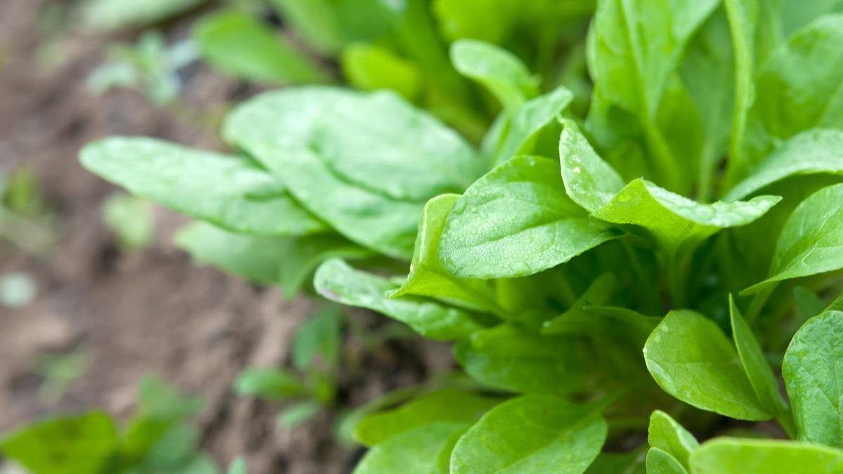 Kuidas kasvatada ja hooldada hapuobjekti oma aias