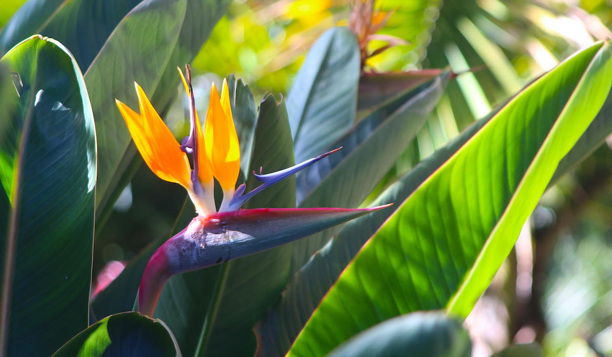 Vodič za njegu rajske ptice: Kako uzgajati rajsku pticu