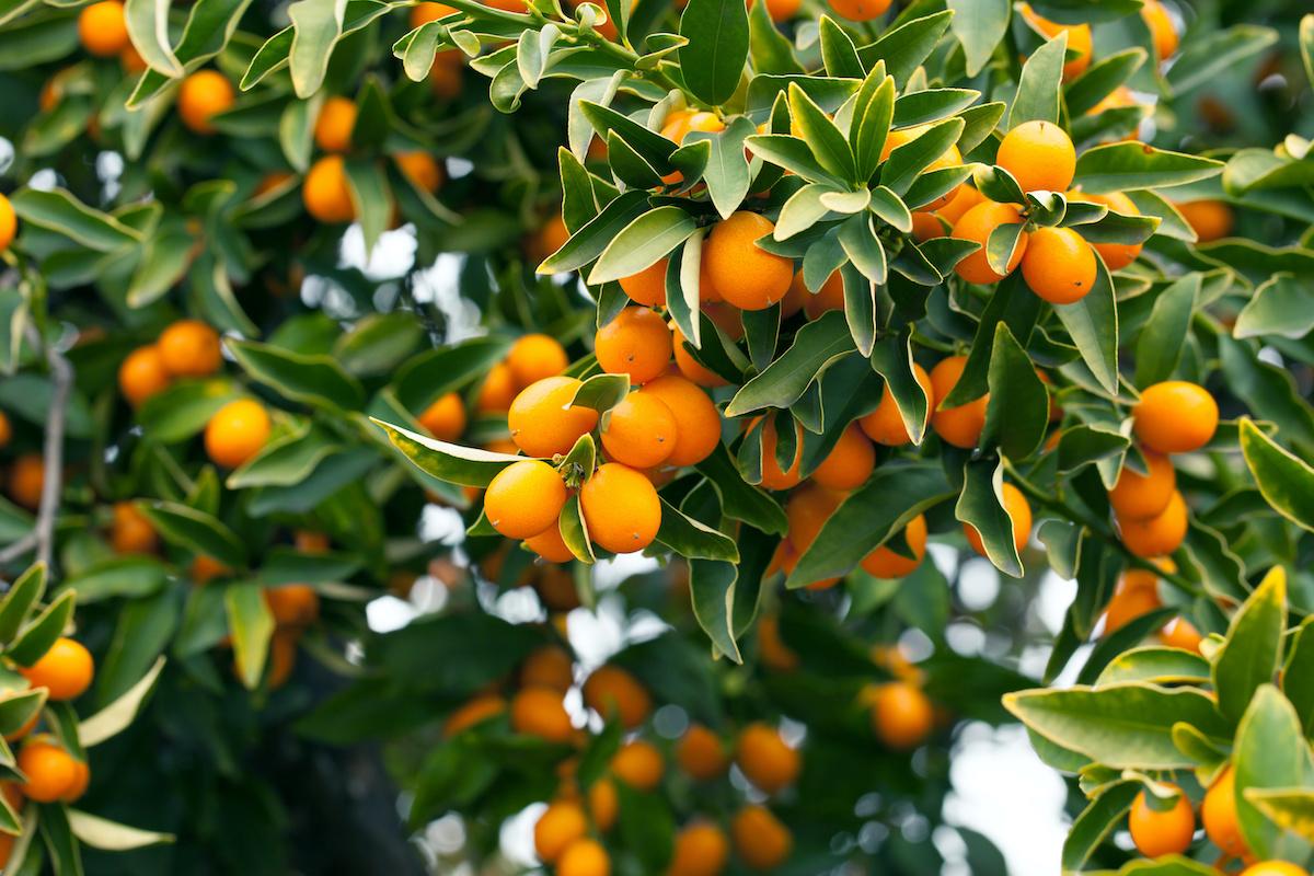 Guida al giardinaggio dell'albero di kumquat: come coltivare alberi di kumquat