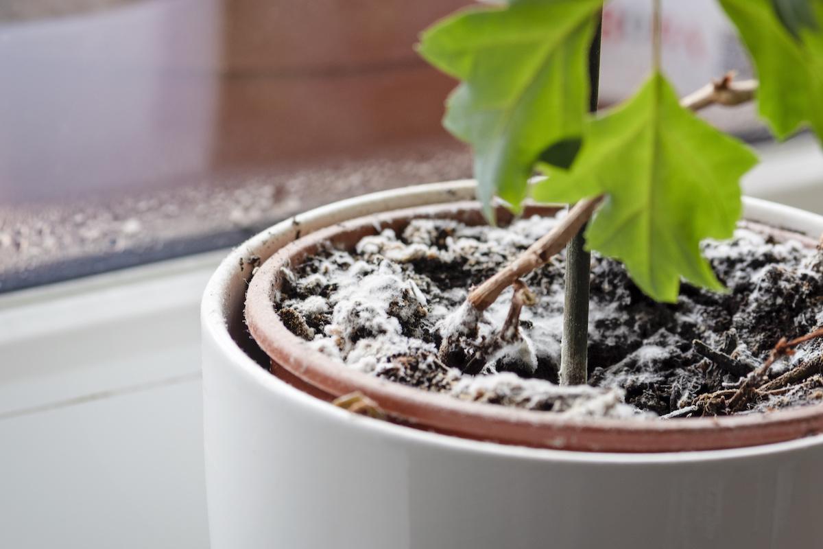 Moisissure blanche sur les plantes : 4 façons de se débarrasser de la moisissure blanche