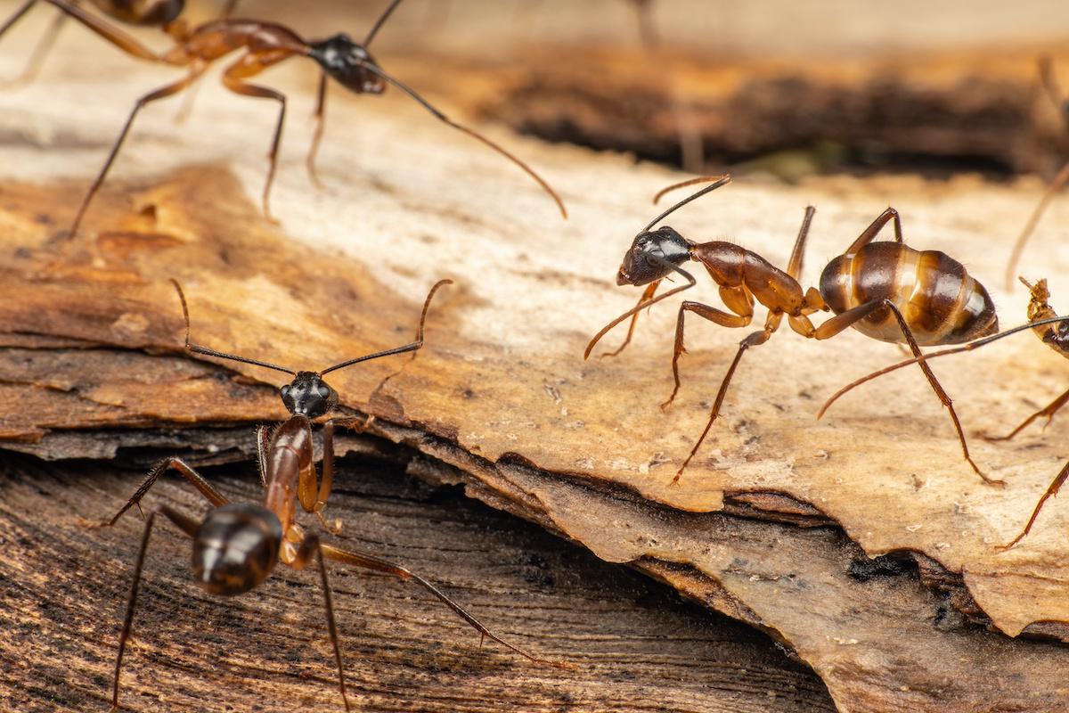 Kuidas puuseppadest sipelgatest lahti saada: 8 sipelgate ravi
