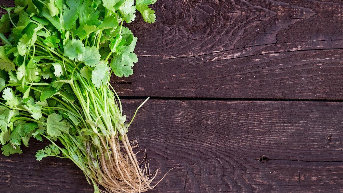 Руководство по выращиванию кинзы: как сажать и собирать кинзу