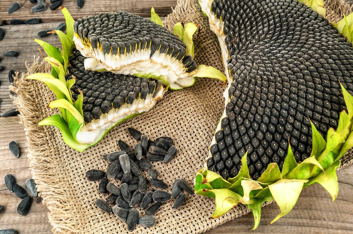 Comment récolter les graines de tournesol : 3 utilisations pour les graines de tournesol