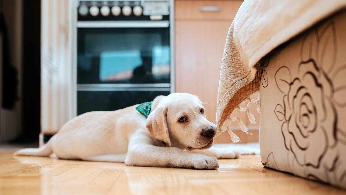 Как уберечь собаку от нежелательного жевания