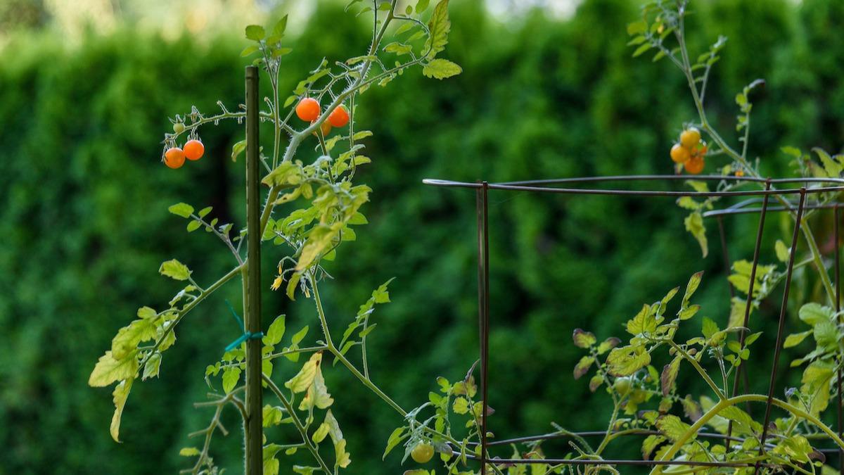 Ako si vyrobiť paradajkovú klietku pre domácu záhradu